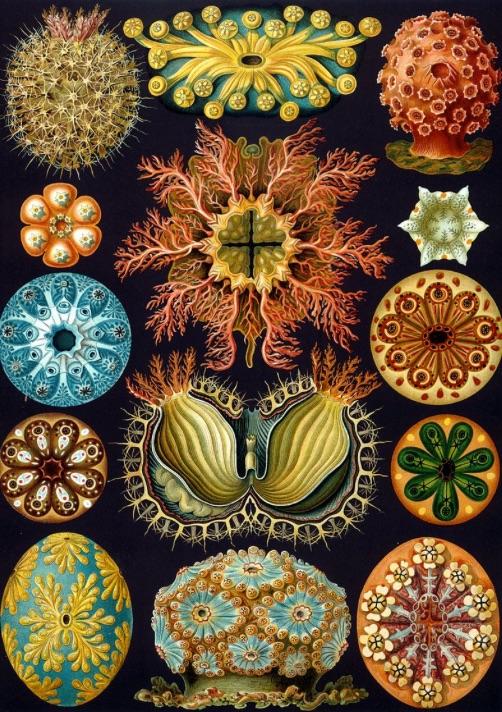 Ernst Haeckel - Seescheiden
